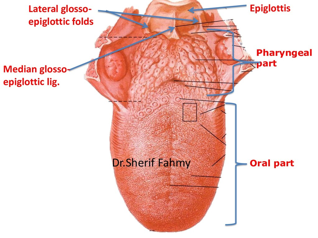 Oral part Pharyngeal part Median glosso- epiglo...