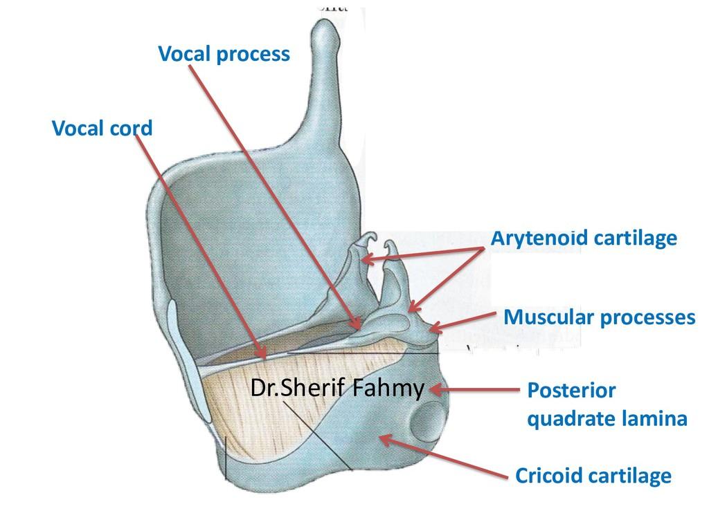 Cricoid cartilage Arytenoid cartilage Vocal pro...
