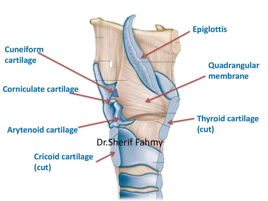 Cricoid cartilage (cut) Arytenoid cartilage Thy...