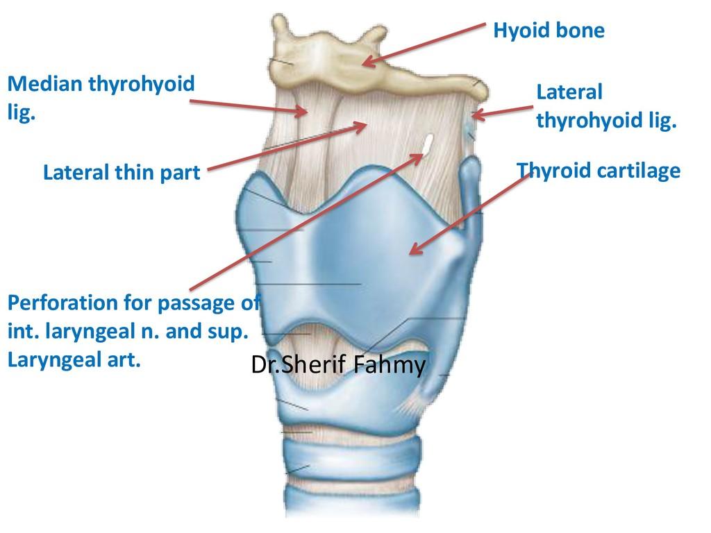 Thyroid cartilage Hyoid bone Median thyrohyoid ...