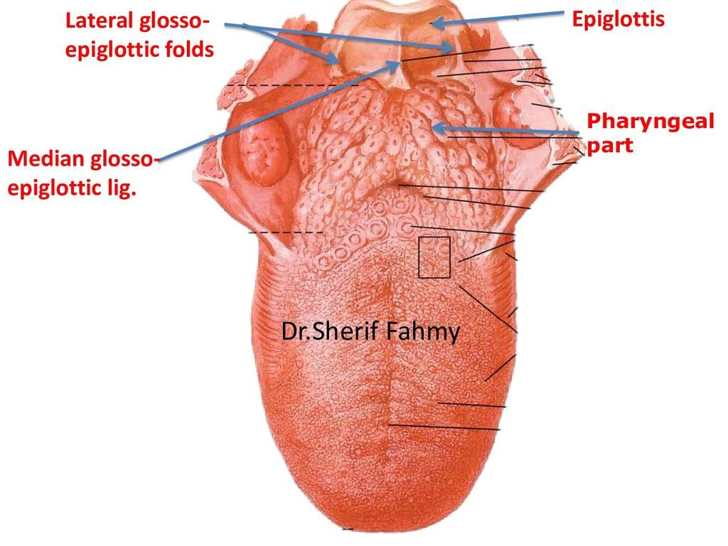 Pharyngeal part Median glosso- epiglottic lig. ...