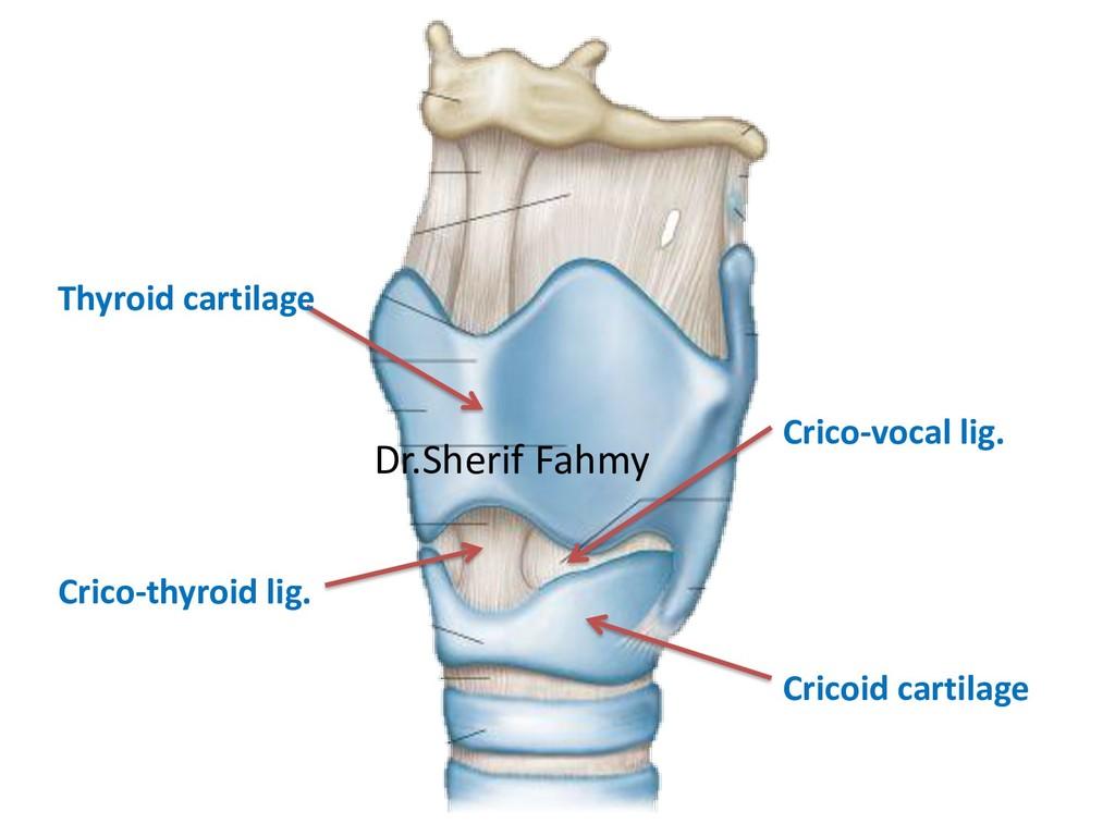Crico-thyroid lig. Crico-vocal lig. Cricoid car...