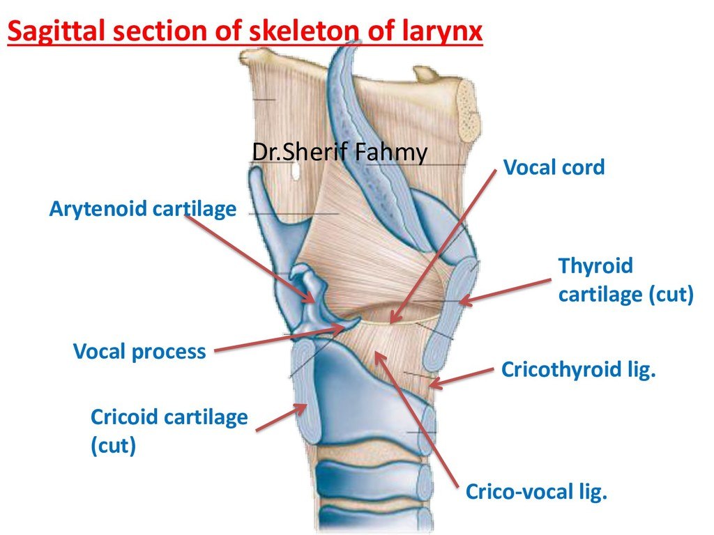 Cricoid cartilage (cut) Vocal process Crico-voc...