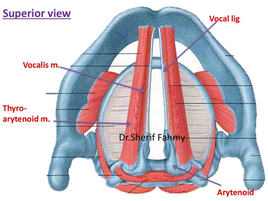 Superior view Arytenoid Vocal lig Vocalis m. Th...