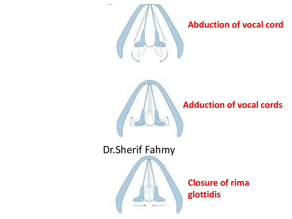 Abduction of vocal cord Adduction of vocal cord...