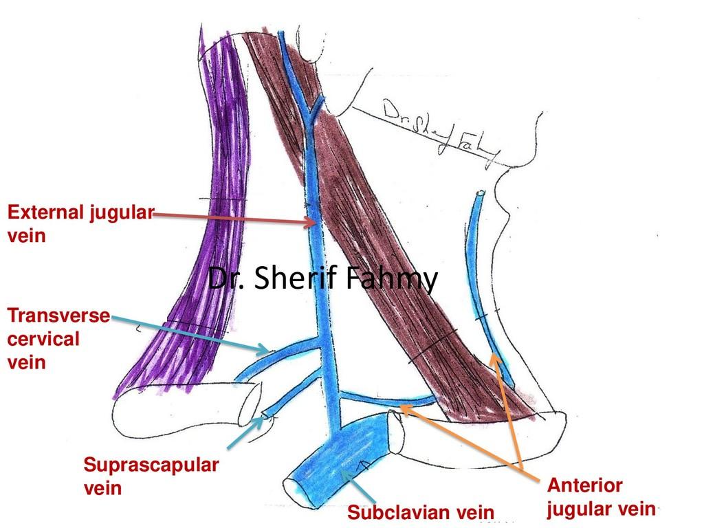 External jugular vein Anterior jugular vein Tra...