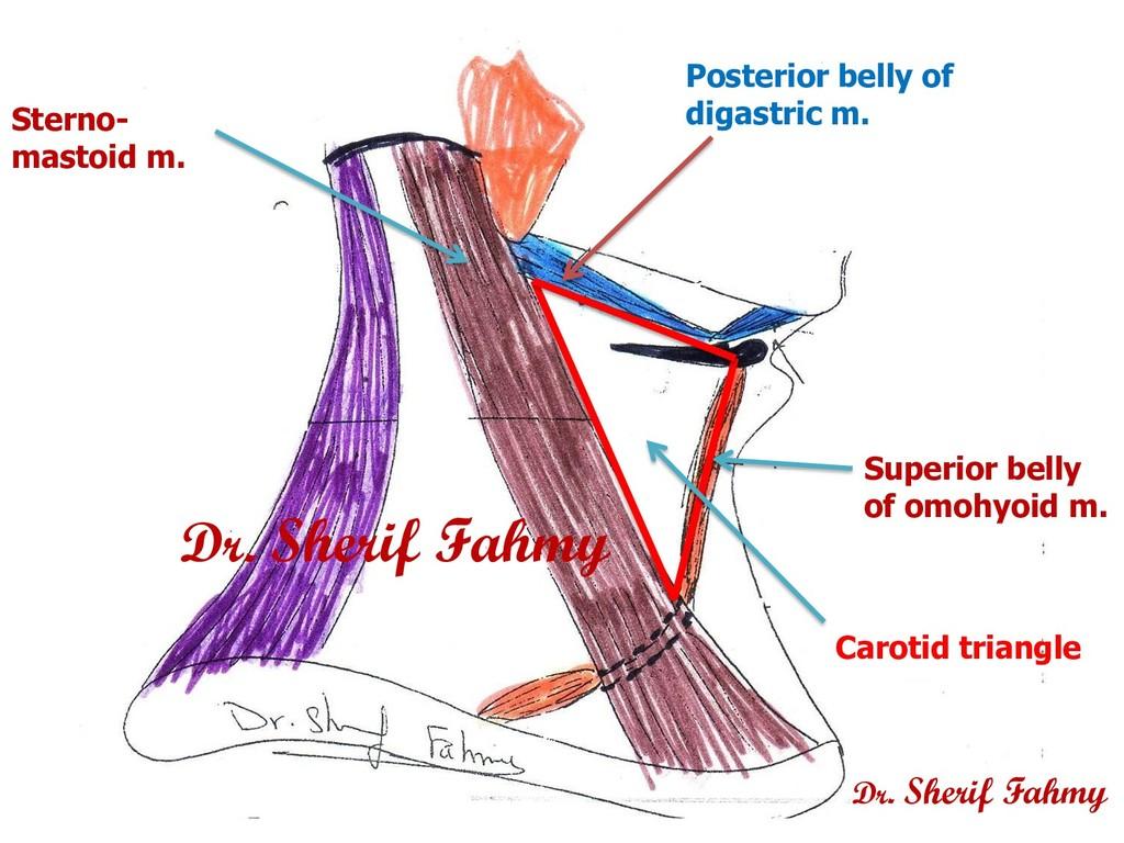 Sterno- mastoid m. Superior belly of omohyoid m...