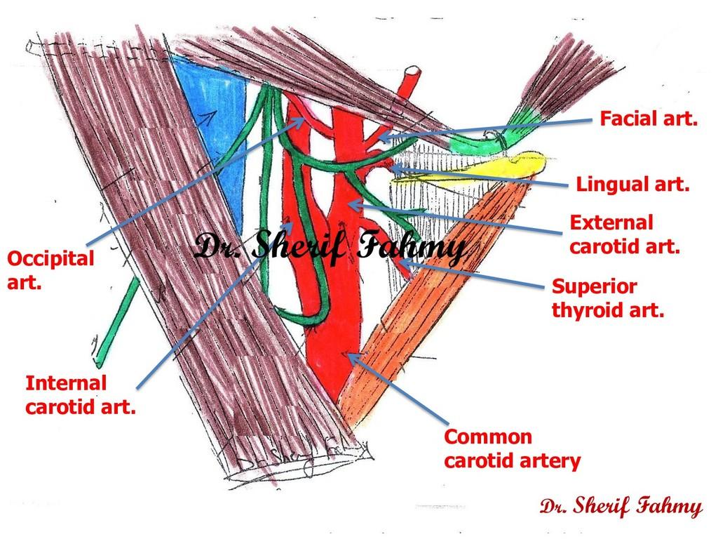 Common carotid artery Internal carotid art. Ext...