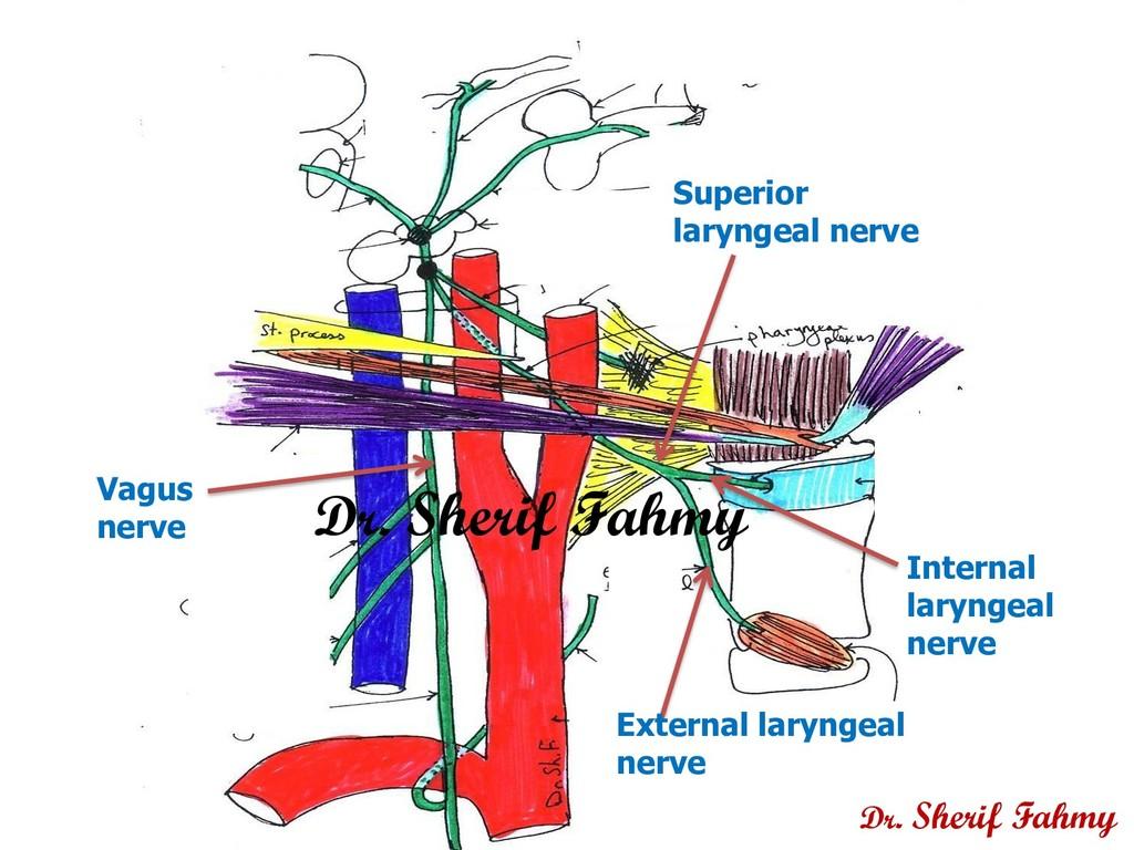 Vagus nerve Superior laryngeal nerve Internal l...