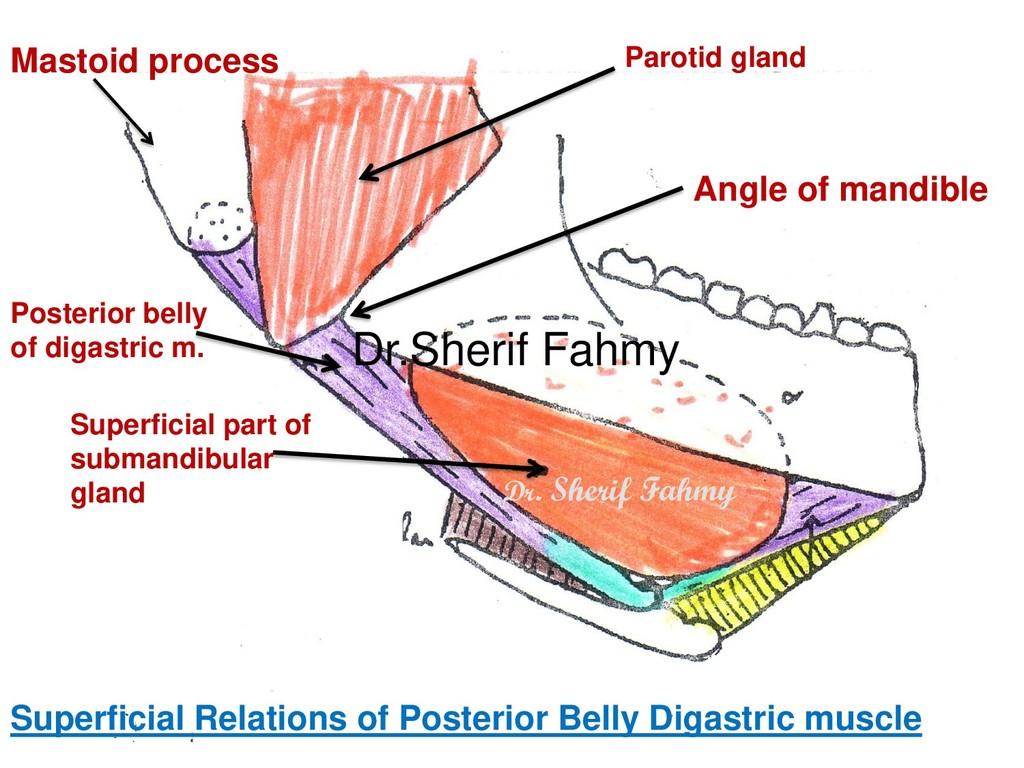 Superficial part of submandibular gland Posteri...
