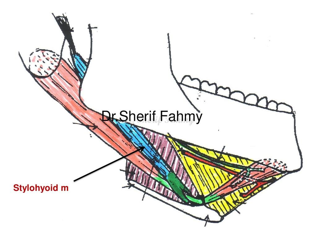 Stylohyoid m Dr. Sherif Fahmy Dr.Sherif Fahmy