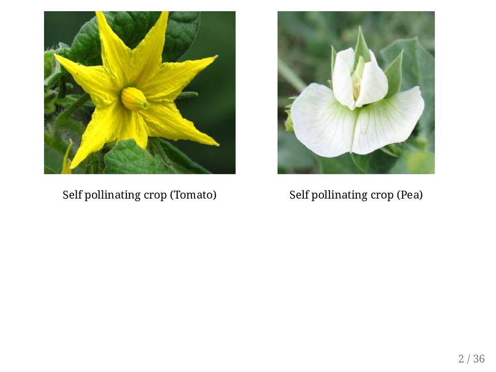 Self pollinating crop (Tomato) Self pollinating...